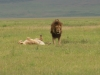 Lion couple at Ngrongoro Crater
