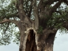 Baobab tree stripped of its barks by thirsty elephants